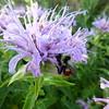 Bee in Bee Balm