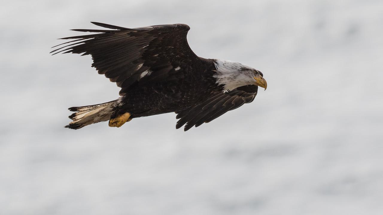 IMAGE: https://photos.smugmug.com/Nature/2018-03-05-Cattle-Point-Eagles/i-r4xW3ZL/0/153577de/X2/2M3A3979-X2.jpg