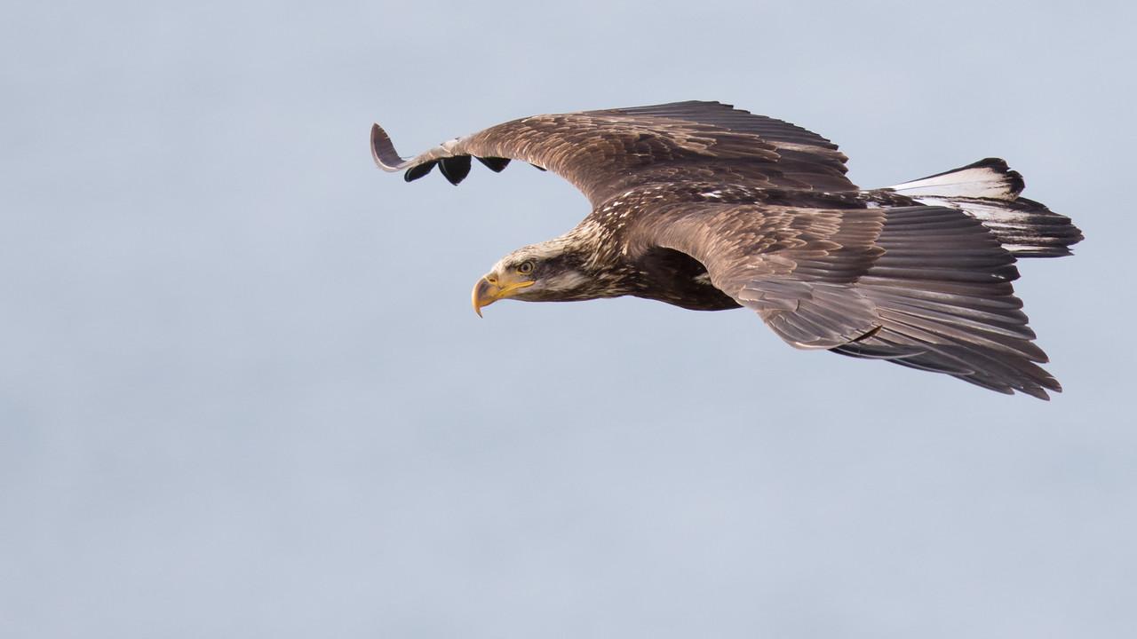 IMAGE: https://photos.smugmug.com/Nature/2018-03-06-SJI-Cattle-Point-Eagles/i-JFpbZNK/0/abaa22f9/X2/2M3A6396-X2.jpg