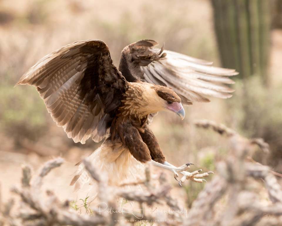 This is anothter image from the raptor free flight exhibit at the Sonora Desert Museum.  Unfortunately, I do not remember the species.  I was too busy taking pictures.  :-)