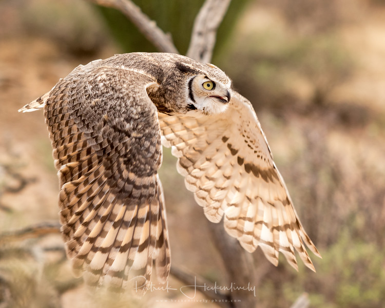 I took this at the Raptor Free Flight exhibit at the Sonora Desert Museum in Tuscon Arizona.  This is a great horned owl, if I remember what the presenter said correctly.  :-P  #Raptor #GreatHornedOwl #SonoraDesertMuseum #RaptorFreeFlight