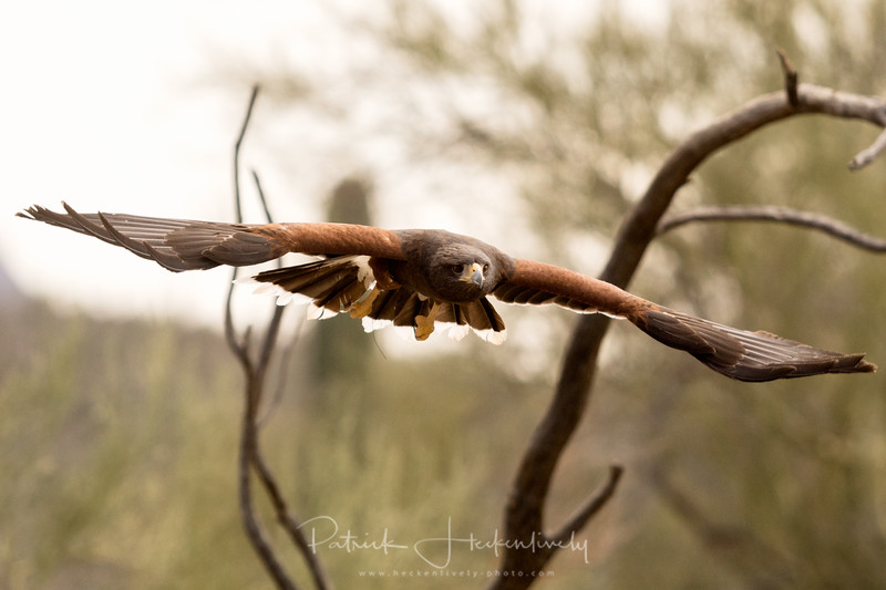 Harris' Hawk photographed at the raptor free flight exhibit at the Sonora Desert Museum