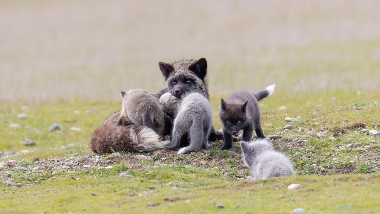 IMAGE: https://photos.smugmug.com/Nature/2018-04-19-Fox-Kits/i-Gd4X5Cn/0/458586d4/X2/1L3A4492-X2.jpg