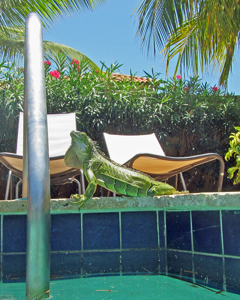 2018_ pool iguana_Aruba_April_IMG_1332