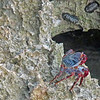 2018_ Sally Lightfoot crab and chitons_ Aruba_April_IMG_1153