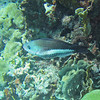 2018_ queen parrotfish_Mangel Halto_Aruba_April_IMG_1392