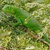 2018_ green iguana_Aruba_April_G5A1113