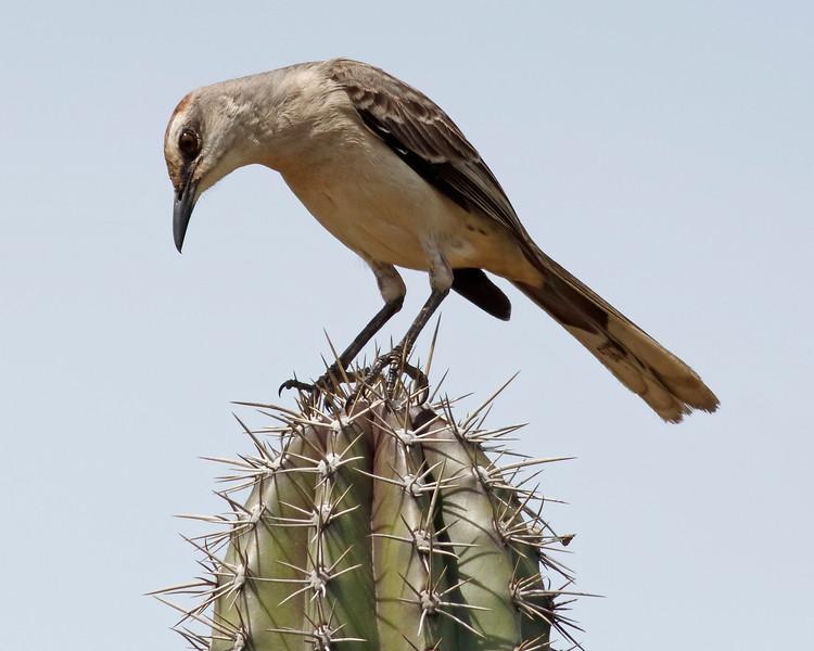 2018_ tropical mockingbird_Aruba_April_G5A1298