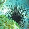 2018_ long-spined urchin_ Aruba_April_IMG_1524