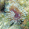 2018_ magnificent feather-duster worm_Aruba_April_IMG_0938