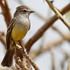 2018_ northern scrub flycatcher_ Aruba_April_G5A1271