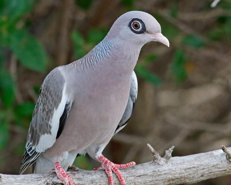 2018_ bare-eyed pigeon_Aruba_April_G5A1114