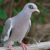 2018_ bare-eyed pigeon_Aruba_April_G5A1114
