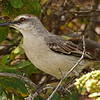 2018_ tropical mockingbird_Aruba_April_G5A1189