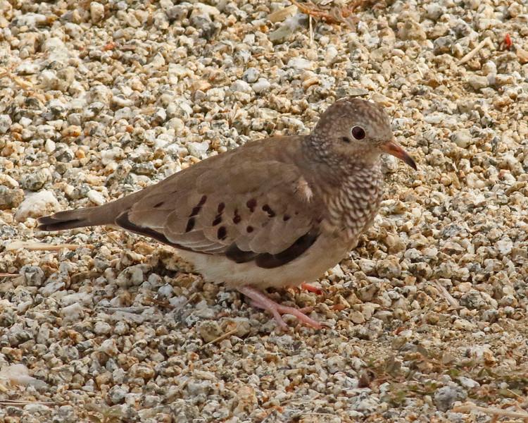 2018_ common ground-dove_Aruba_April_G5A1127