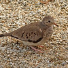 2018_ common ground-dove_Aruba_April_G5A1127
