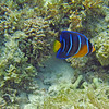 2018_ queen angelfish juvenile_ Aruba_April_IMG_0967