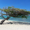 2018_ divi tree_ Arashi Beach_Aruba_April_IMG_1316