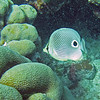 2018_ foureye butterflyfish_ Mangel Halto_Aruba_April_IMG_1353