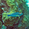 2018_ princess parrotfish_Mangel Halto_Aruba_April_IMG_1401