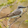 2018_ gray kingbird_Aruba_April_G5A1100