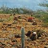 2018_ Pope's head cactus field_Aruba_April_IMG_0827