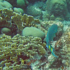 2018_ stoplight parrotfish_Mangel Halto_Aruba_April_IMG_1407