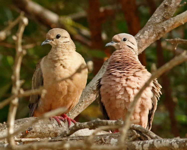 2018_ eared doves_Aruba_April_G5A1030