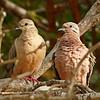 2018_ eared doves_Aruba_April_G5A1030