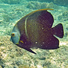 2018_ french angelfish_ Aruba_April_IMG_0740