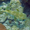 2018_ porcupinefish_ Aruba_April_IMG_0746