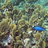 2018_ blue chromis over fire coral_Mangel Halto_Aruba_April_IMG_1365