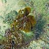 2018_ reef urchin_Echinometra viridis_ Aruba_April_IMG_1287