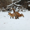 Red Fox (Vulpes Fulva) (Pair) @ Country Field Yard in Chesterfield