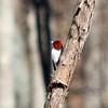 Red-headed Woodpecker @ Lone Elk CP
