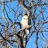 Red-tailed Hawk @ Powder Valley CNC
