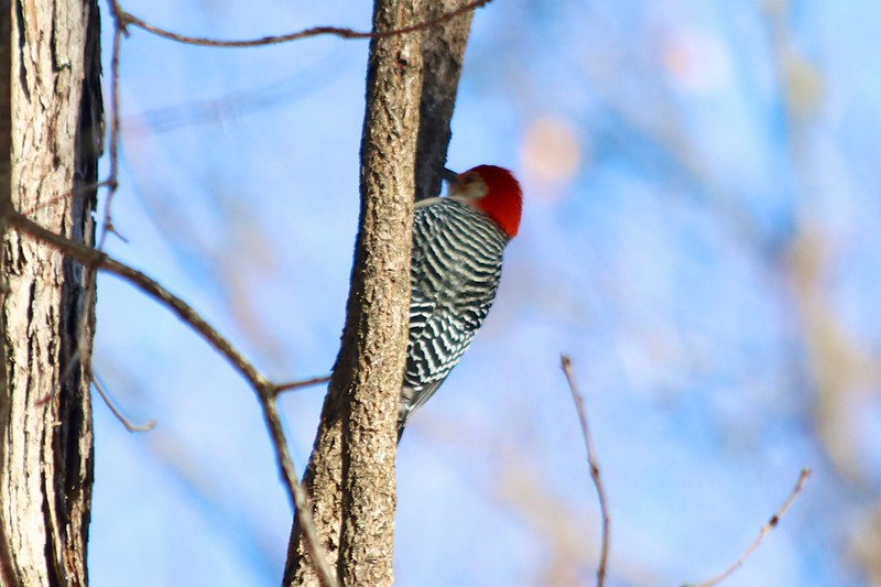 Red-bellied Woodpecker @ Powder Valley CNC