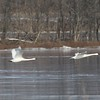 Trumpeter Swan @ Riverlands MBS (Ellis Bay)