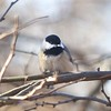 Carolina Chickadee @ Powder Valley CNC