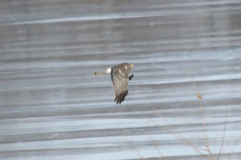 Northern Harrier @ Riverlands MBS (Ellis Bay)