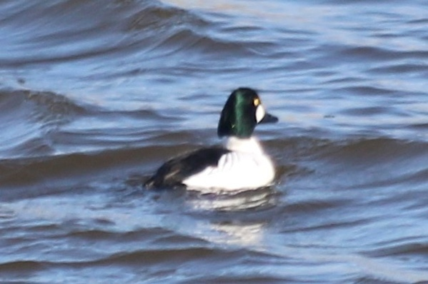 Common Goldeneye (Male)  below Melvin Price Locks and Dam