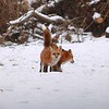 Red Fox (Vulpes Fulva) Pair @ Country Field Yard in Chesterfield