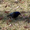 Common Grackle @ Firma & Dalbow Roads in O'Fallon