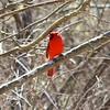 Northern Cardinal (Male) @ Castlewood SP