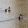 Northern Shovelers (Male) @ Clarence Cannon NWR