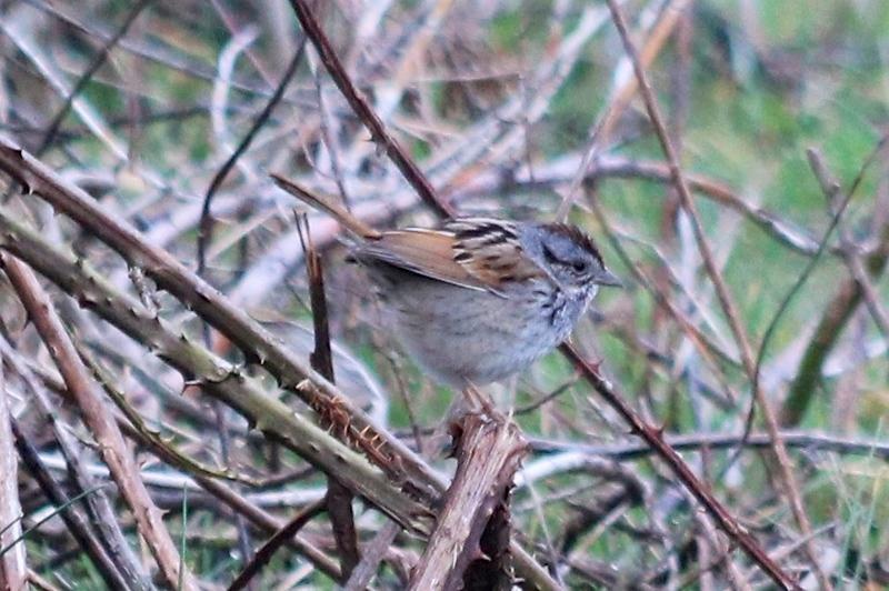 Swamp Sparrow @ Blue Grosbeak Trail