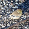 American Goldfinch @ Powder Valley CNC