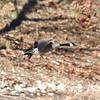 Canada Goose @ Lone Elk CP