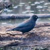 Rusty Blackbird @ Firma & Dalbow Roads in O'Fallon