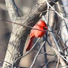 Northern Cardinal @ Powder Valley CNC